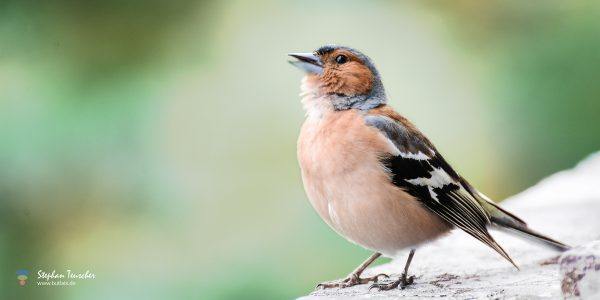 Foto: »Fink [finch] - No.1« | Thanks to all for your views and likes :)