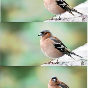Foto: »Fink [finch] - No.1-3«