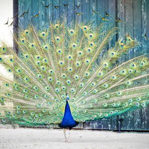 Foto: »Blauer Pfau [Peacock] - No.7«