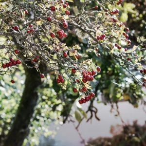 Foto: »Baumkrone mit Beeren [Treetop with berries]«