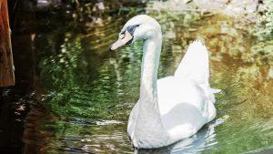 Foto: »Schwan [swan] - No.1«